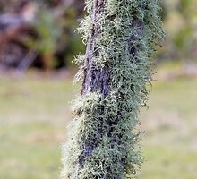 Post and Lichen by CovePicsTas