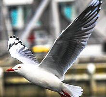 Gull by CovePicsTas