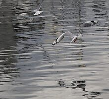 Gulls by CovePicsTas