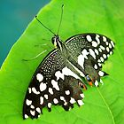 Spotted Butterfly by Amy McDaniel