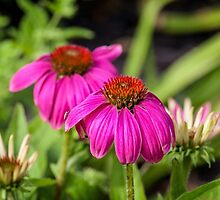 Echinacea II by PhotosByHealy