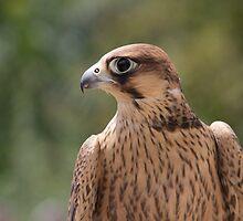 Falco peregrinus pelegrinoides by Mythos57