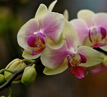 Orchids in Bloom by autumnwind
