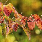A Sprig of Autumn Dogwood by MotherNature2