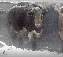 Cows in the snow by jdavey57