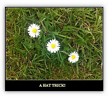 A HAT TRICK - 3 DAISIES IN A ROW Photographic Print