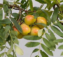 pears on the tree by spetenfia