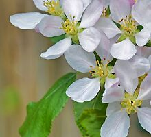 Apple Blossoms by Mary Ann Machi