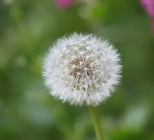 Dandelion Flower by kenmay
