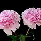 Pink Peonies by AnnDixon