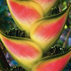 Heliconia #01 by LouD