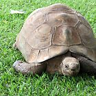 Mountain Tortoise by Elizabeth Kendall