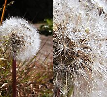Details-Dandelion and raindrops by achluofobia