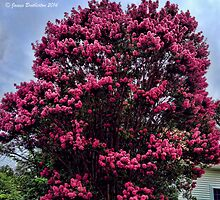 Pink Crape Myrtle by James Brotherton