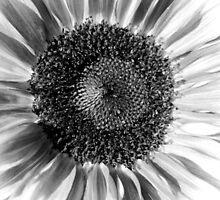 Sunflower 14 BW by marybedy