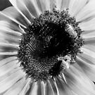Sunflower 18 with Bees BW by marybedy