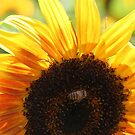 Sunflower and Bee by marybedy