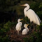 Great Egret with young by Rob Lavoie