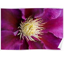 Purple Beauty  clematis center  Poster