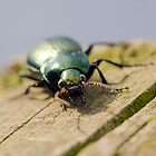 Carabid Beetle by Paul Spear
