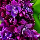 Lilac Love by Tracy Deptuck
