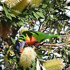 Rainbow Lorikeet & Coastal Banksia, Tuncurry walk. N.S.W. Nth. Coast. by Rita Blom