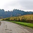 Corn field 2 by Carolyn Clark