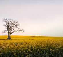 Canola Sunrise - NSW, AUSTRALIA by Kath Salier