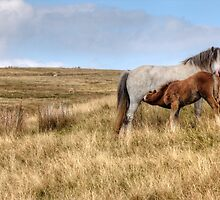 Welsh pony mare and foal. by Elisabeth Thorn
