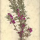 Boronia (Purple Jared) by Elaine Teague