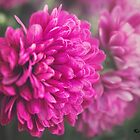 Fading Pink by KatMagic Photography