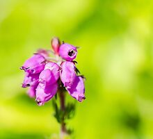 Scottish Bell Heather by wgell