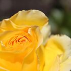 lovely, elegant yellow rose flower. floral nature photography. by naturematters