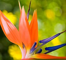 Bird of paradise  by LudaNayvelt