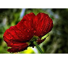 Refreshed Poppy  Photographic Print