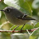 Ruby Crowned Kinglet by Dennis Cheeseman
