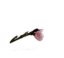 Pink tree cherry flower by MariaNikelova