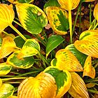 Dying Hosta Leaves by Shulie1