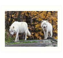 Pair of Arctic Wolves in fall Art Print