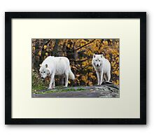Pair of Arctic Wolves in fall Framed Print