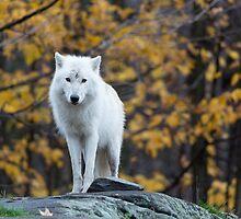 Arctic Wolf - Parc Omega, Quebec by Josef Pittner