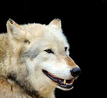 Timber Wolf 2 by Barnbk02