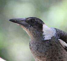 Young Australian Magpie by aussiebushstick