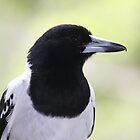 Pied Butcherbird by aussiebushstick