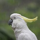Cockatoo in the Rain by aussiebushstick