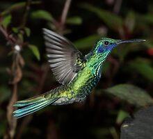 Sparkling Violetear - Mindo Cloud Forest Ecuador by john  Lenagan