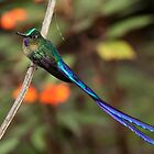 Violet-Tailed Sylph (male)- Mindo Cloud Forest Ecuador by john  Lenagan