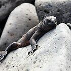 Marine Iguana - Amblyrhynchus cristatus - Galapagos Isl by john  Lenagan