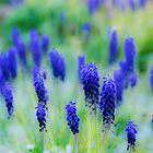 Grape Hyacinth by DIANE  FIFIELD