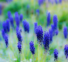 Grape Hyacinth by DIANE  FIFIELD
